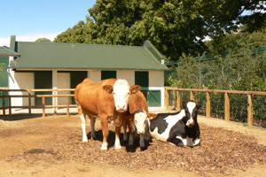 In The Farmyard Itself Visitors Of All Ages Will Learn About Animals From Cows To Chicks While Farmhouse Classroom Irelands